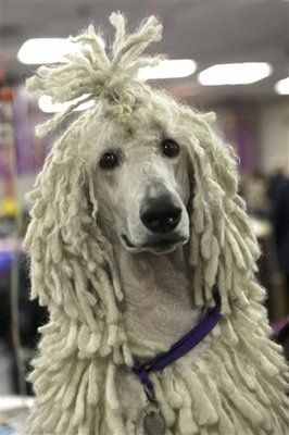 Poodle With Dreadlocks I M Gonna Put Dreadlocks In My