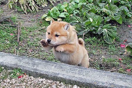 段差を飛び越すかわいい子犬