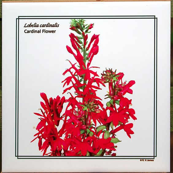 Cardinal flower  6inch ceramic tile by RVJamesDesigns on Etsy, $9.00
