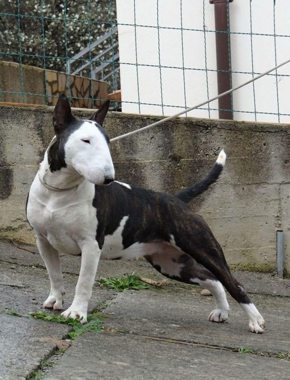 Health Happiness And Health Promotion Bull Terrier Dog Bull Terrier Mini Bull Terriers