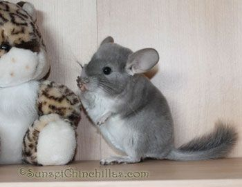 Chinchillas For Sale In Lafayette Louisiana Hamsters As Pets Cute Baby Animals Baby Animals