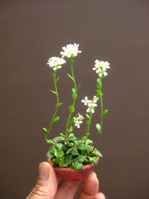 Little White Flowers in a Teeny Clay Pot