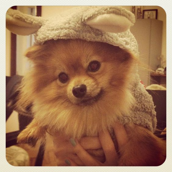 pomeranian teeth pomeranians teeth cleaning and my girl on pinterest 6953