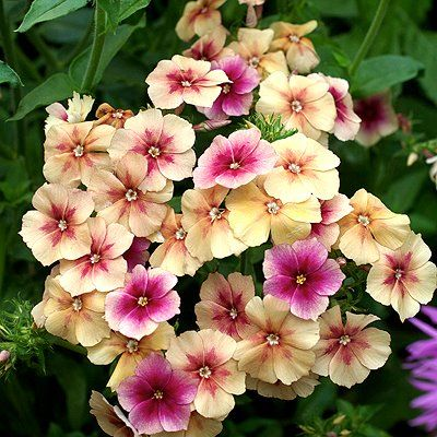 phlox 39 cherry caramel 39 phlox drummondii texas pride an old fashioned name for this flower is. Black Bedroom Furniture Sets. Home Design Ideas