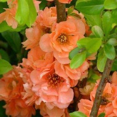 Cognassier à fleurs 'Cameo'