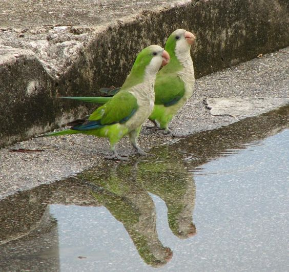 Monk Parakeets (or Quakers)