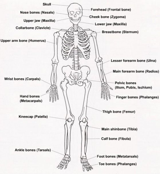 Diagram Of The Skeletal System With Labels Human Skeleton Labeled Skeletal System Skeletal System Anatomy
