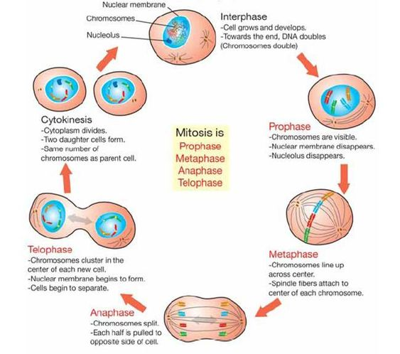 Cell Cycle And Mitosis Worksheet. Worksheets. Reviewrevitol Free ...