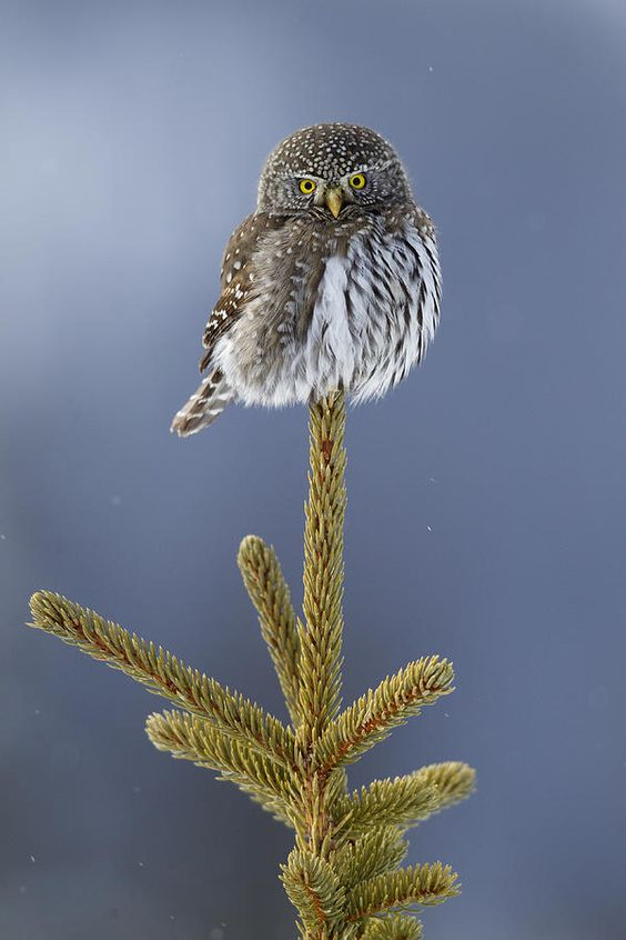 Mountain Pygmy-owl Glaucidium Gnoma: