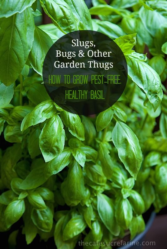 how to grow pest free healthy basil gardens happy and herbs garden. Black Bedroom Furniture Sets. Home Design Ideas