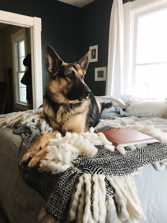 Pretty German Shepherd Dog laying on the bed | Thoughtfully Thrifted