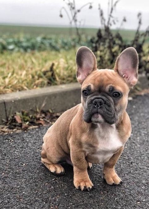 Blue French Bulldog Puppies Are The Cutest Pups Ever Blue French