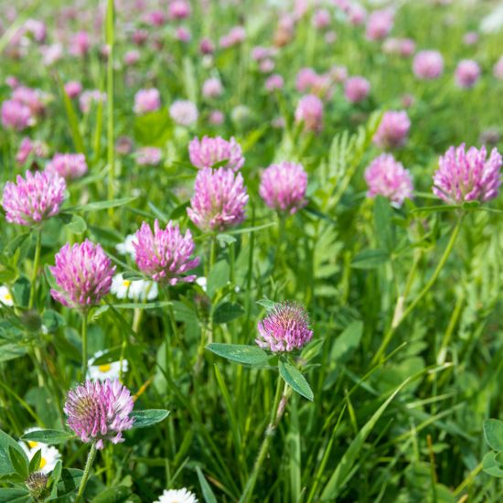 Planting Alfalfa, Medium Red Clovers and Ladino Clovers into the right type of soil can produce significant results when pasture farming.