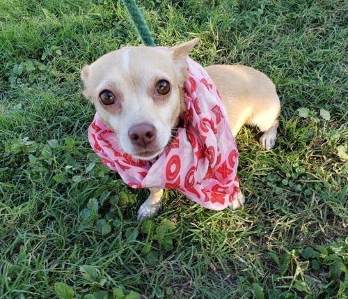 Adopt Maya On Chihuahua Dog Pounds Pet Adoption