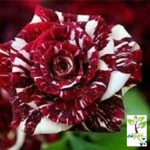 Gambar Bunga Ros Merah Dan Putih Tanaman Jadi Bunga Mawar Candy Merah Putih Bibit Tanaman Toko Bunga Bali Rose Seeds White Rose Flower Red And White Roses