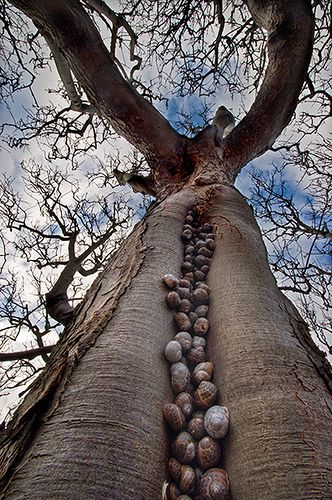 The snail tree    This sycamore tree had a whole colony of snails (Helix aspersa) sheltering (hibernating) in a large crack- very odd - vma.:
