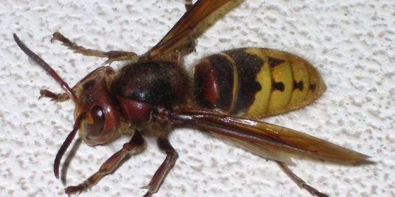 Een hoornaar