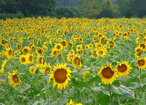 Pennsylvania sunflowers by okhtay, via Flickr