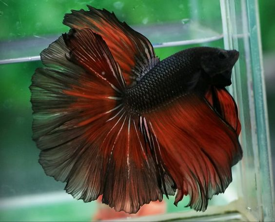 Devil butterflies and red on pinterest for Butterfly betta fish