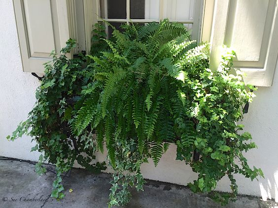 Window box, The Barn Nursery  overflowing with foliage, ferns ivy!