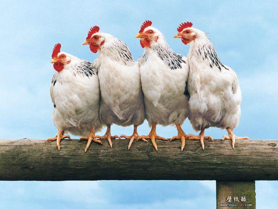 Chickens na Feira