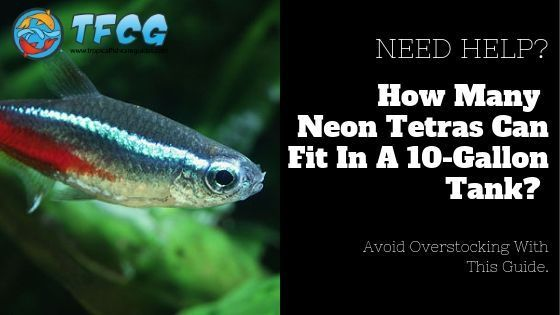 How Many Neon Tetras In A 10 Gallon Tank Is 10 Gallons Enough Room Neon Tetra Neon Tetra Fish Fresh Water Fish Tank