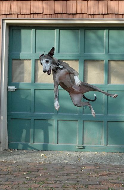 Dash by hutchphoto, via Flickr - mega-jump. *no dogs were thrown, he's jumping after a ball.