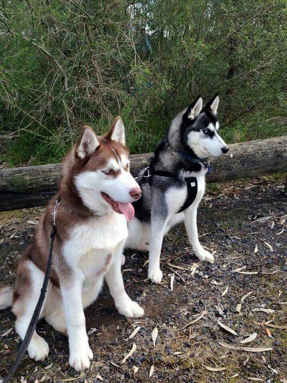 Beautiful Husky Puppy Husky Puppies Siberian Husky Dog Husky