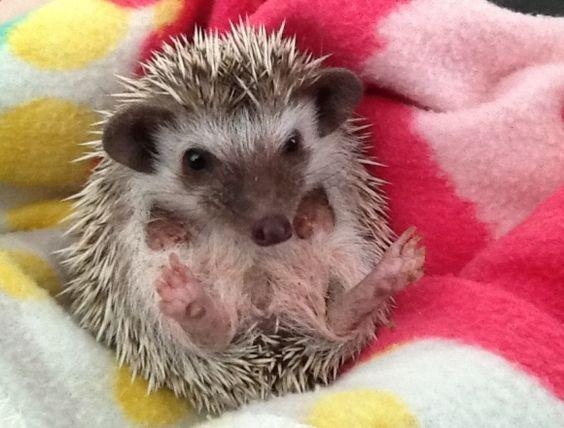 My New Baby Hedgehog | Cutest Paw: