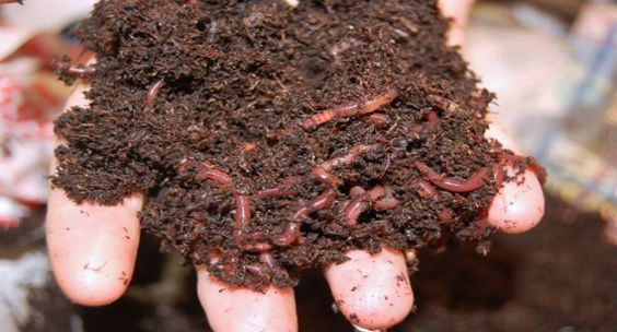 Earthworms can digest toxins due to drilodefensins in their gut - NATURE WORLD REPORT #Earthworms, #Toxins, #Science
