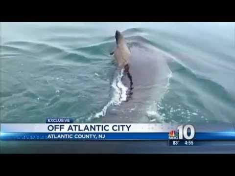 Great White Shark Found In Atlantic City New Jersey