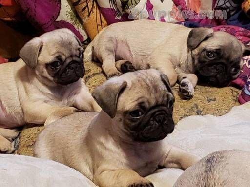 Find Your Dream Puppy Of The Right Dog Breed At Puppies Puppies For Sale Pug Puppies