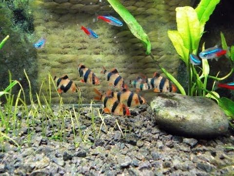 Species Profile Tiger Barb Youtube Neon Tetra Fish Tank Aquarium Fish Tank