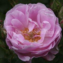 Queen of Bourbons - Rosa - Rosa_borbonica - Historische_Rosen - Rosen - Rosen von Schultheis