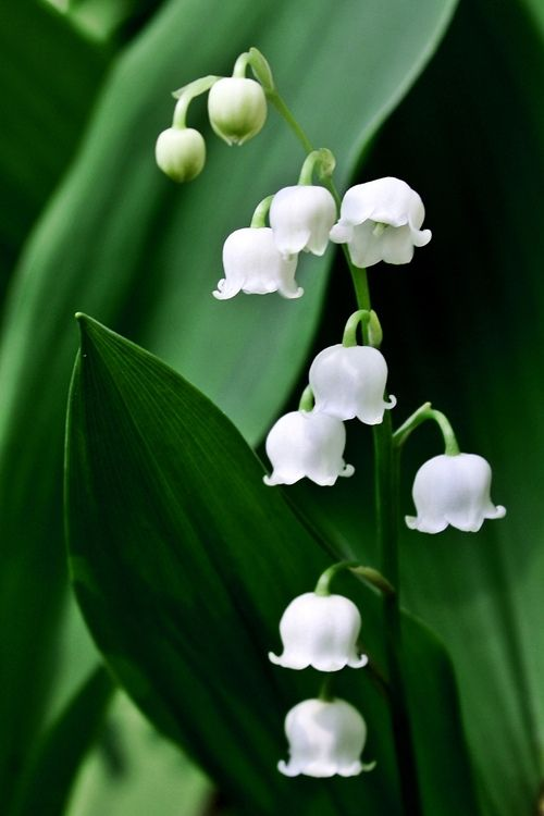 Lily of the Valley (Convallaria majalis) | Flickr, Susan Drysdale