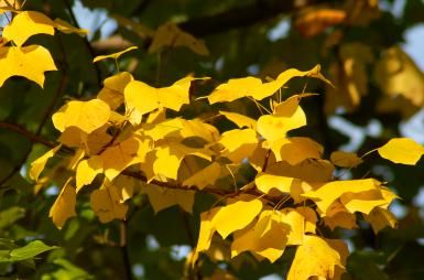 Tulip Trees: Tiptoe Through the Fall Foliage: Tulip trees bear spring flowers, but I'm much more interested in their fall foliage.
