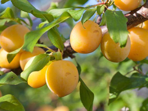 Plum 'Bellamira' , Prunus domestica 'Bellamira'
