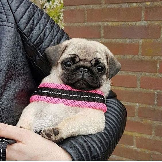 from @thepug_roxy Shop for Pug Lovers @cutecatonline bio