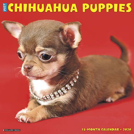 Office Supplies Chihuahua Puppies Chihuahua Puppies