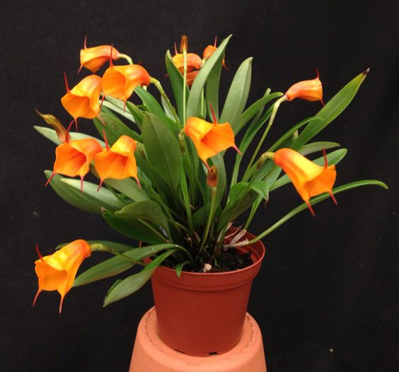 Masdevallia Jelly Belly (Copper Angel x mendozae) - Flickr - Photo Sharing!