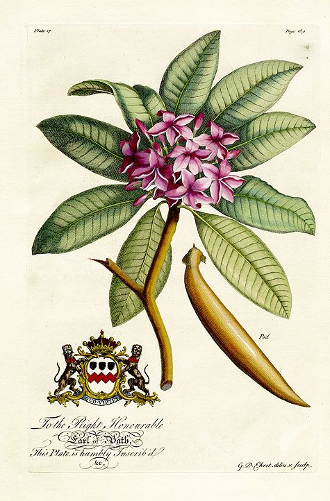 Stunning! Georg Dionysius Ehret Botanical Prints from The Natural History of Barbados 1750
