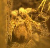 Picaduras de escorpiones y arañas.