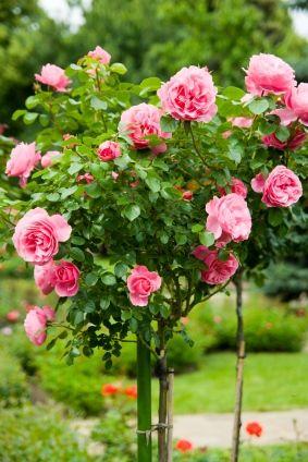 Pinterest the world s catalog of ideas for Garden rose trees