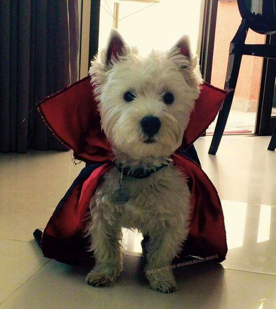 I Vant To Lick Your Face Cute Vampire Westie At Halloween