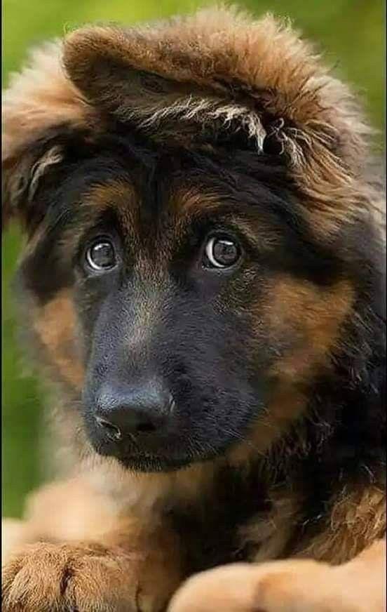 2 Cute Germanshepards 2 Cute German Shepherd Dogs German