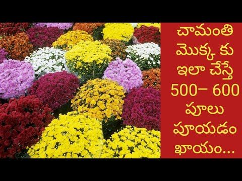 How To Grow Chamanthi Plant At Home In Telugu With Tips How To Grow Chrysanthemum Plant In The Pot Youtube Chrysanthemum Plant Plants Garden Plants