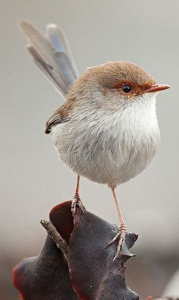 Superb Fairywren (Malurus cyaneus)                              …: