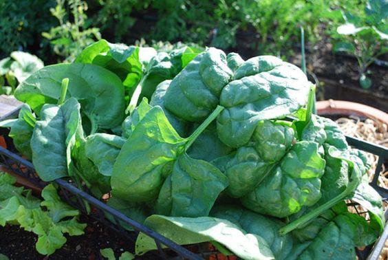 http://www.ebay.com/itm/1-2-Ounce-Giant-Nobel-SPINACH-SEEDS-Premium-USA-Seeds-Heirloom-Non-GMO-/311013743718?pt=LH_DefaultDomain_0  1/2 Ounce Giant Nobel SPINACH SEEDS. Premium USA Seeds. Heirloom. Non-GMO.
