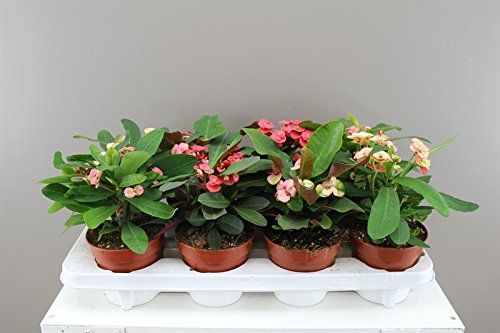 Crown of Thorns Cactus - Mixed Colours - Traditionally a ...…