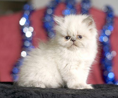 ريكو ذكر هملايا بيكي فيس تم البيع I Love Cats Cats Animals